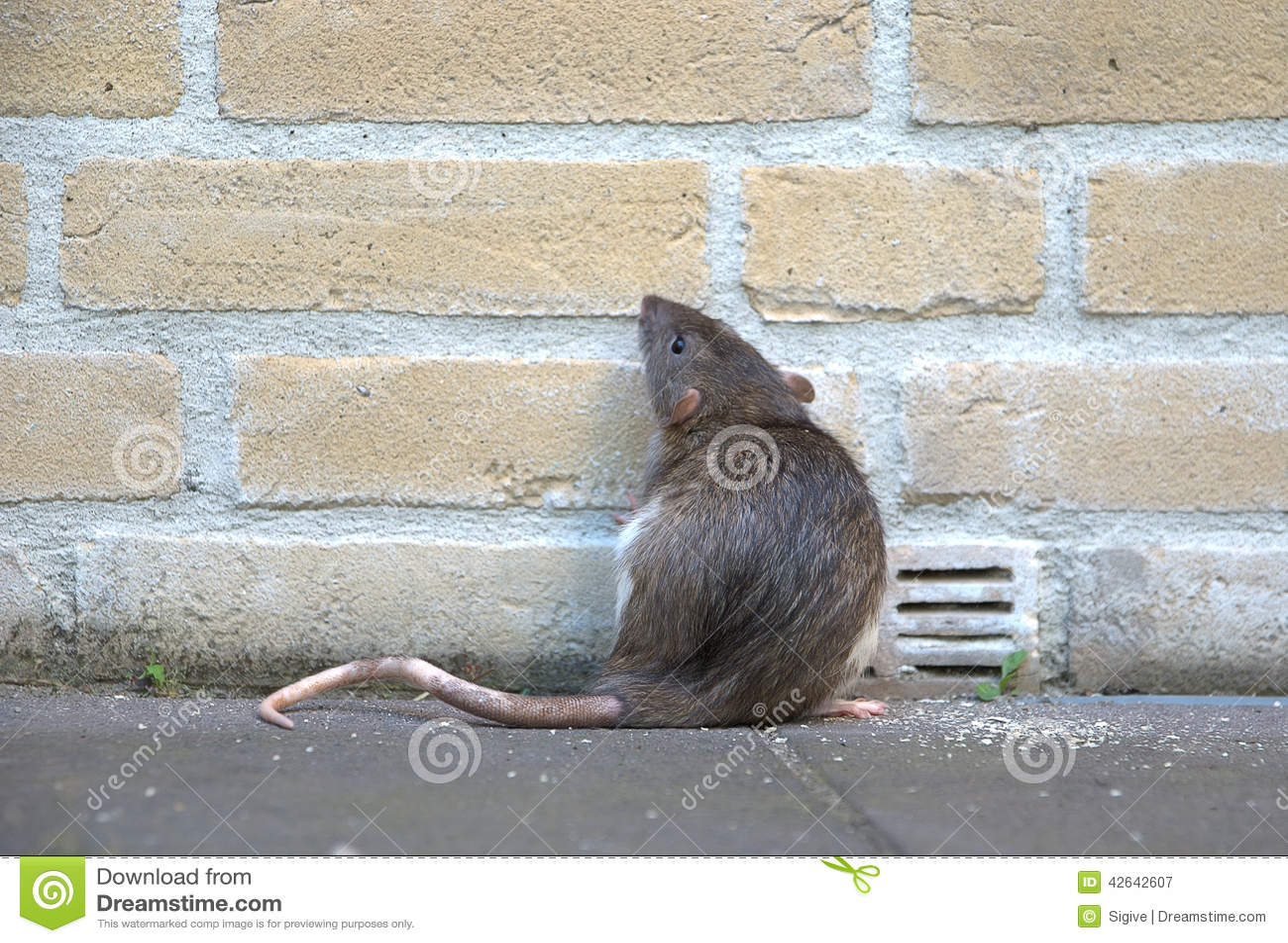 Urban Rat Stock Photo Image 42642607