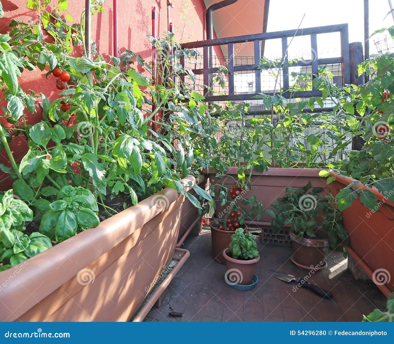 Planter Des Tomates En Pot urban vegetable garden with large pots on the terrace stock