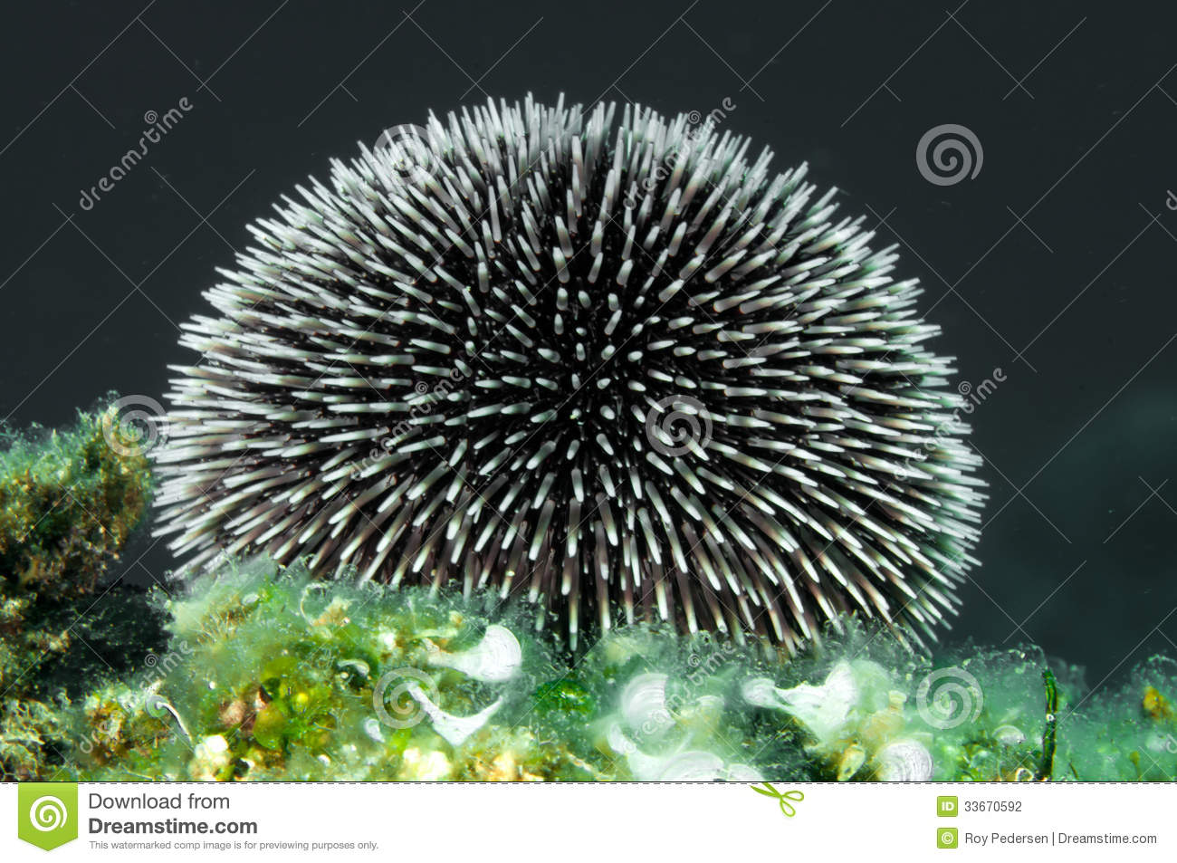 Urchin Spines Stock Photography - Image: 33670592
