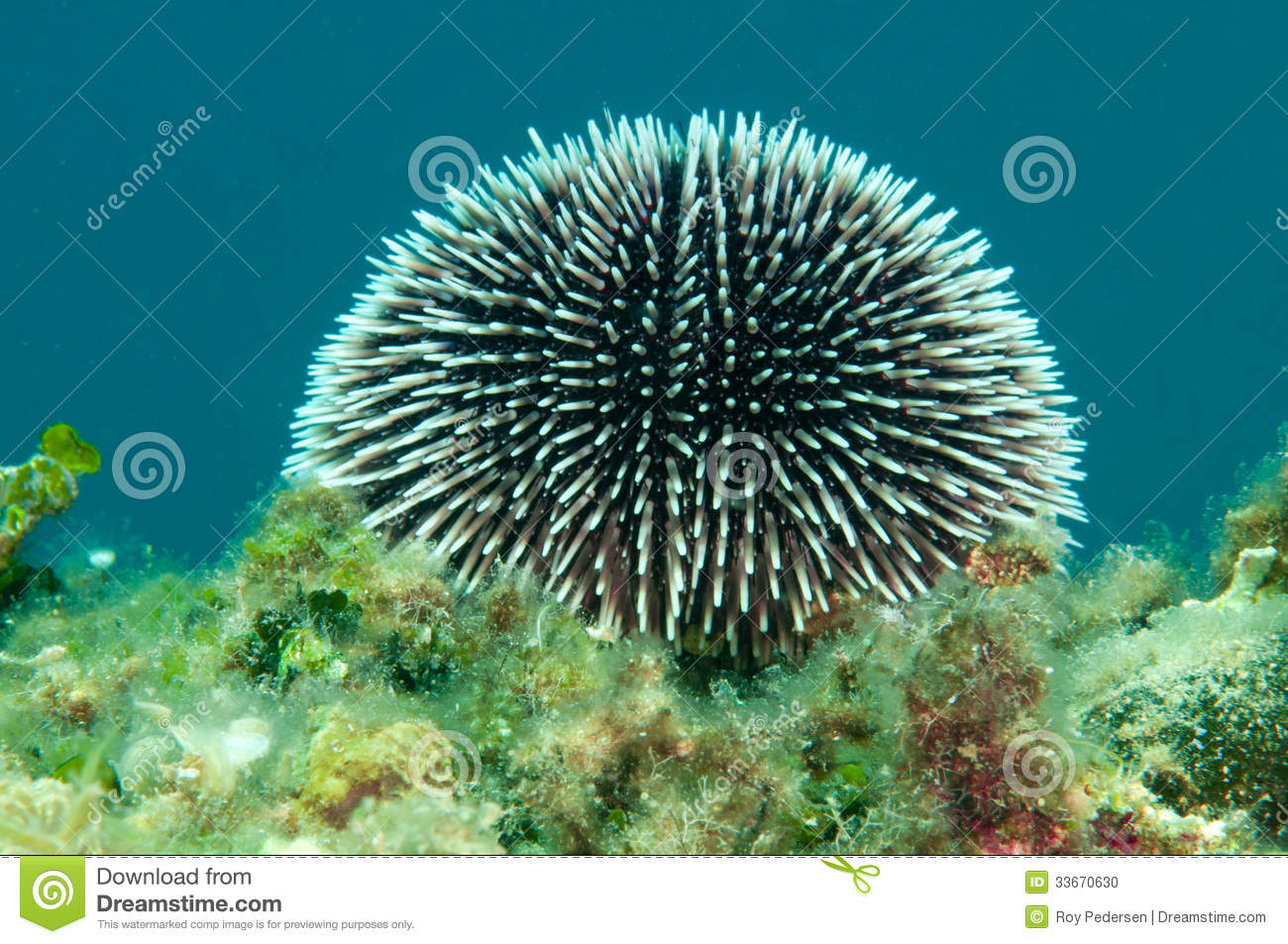 Urchin Spines Stock Photo - Image: 33670630