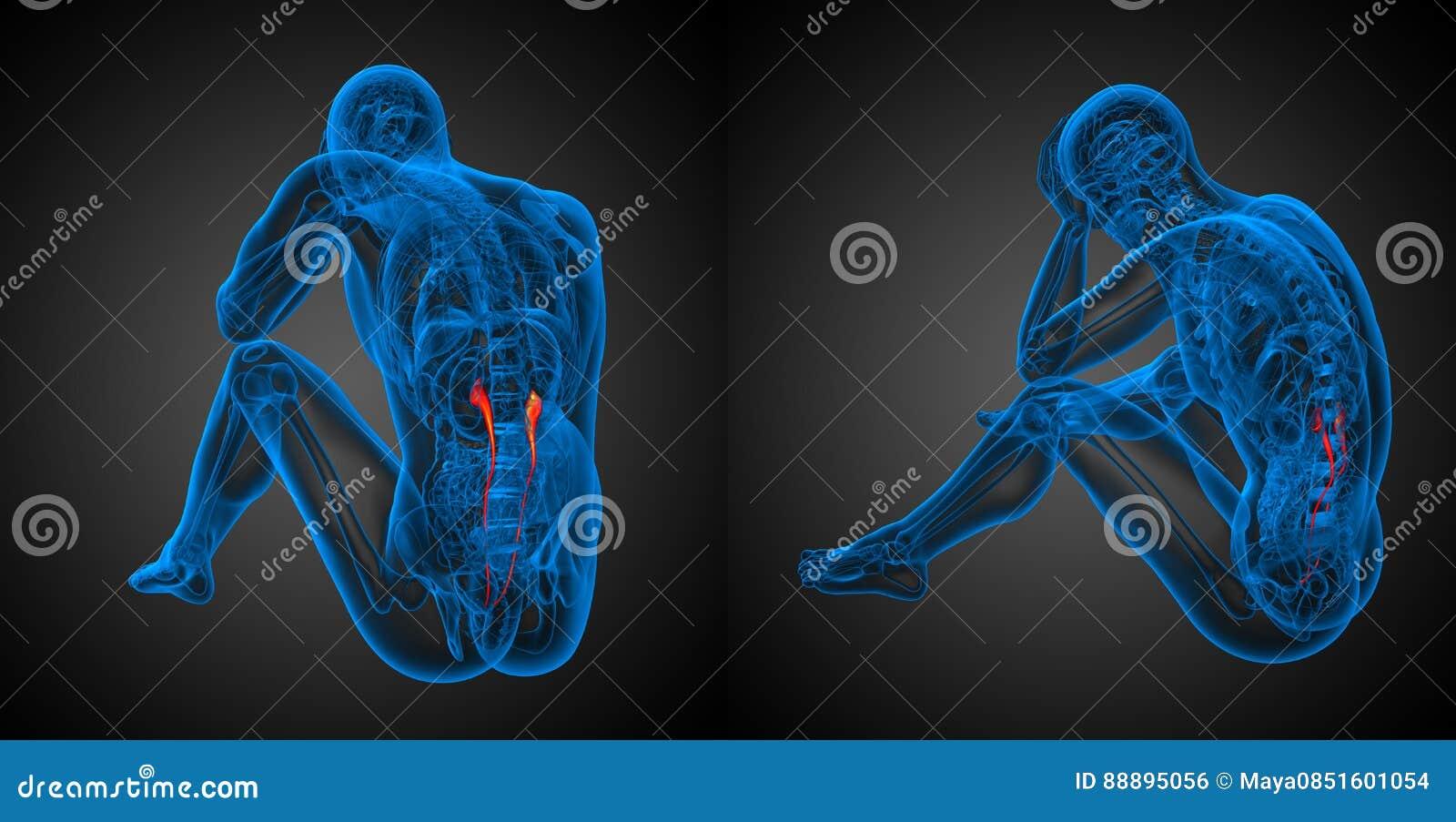 Ureter Stock Illustration Illustration Of Physiology 88895056