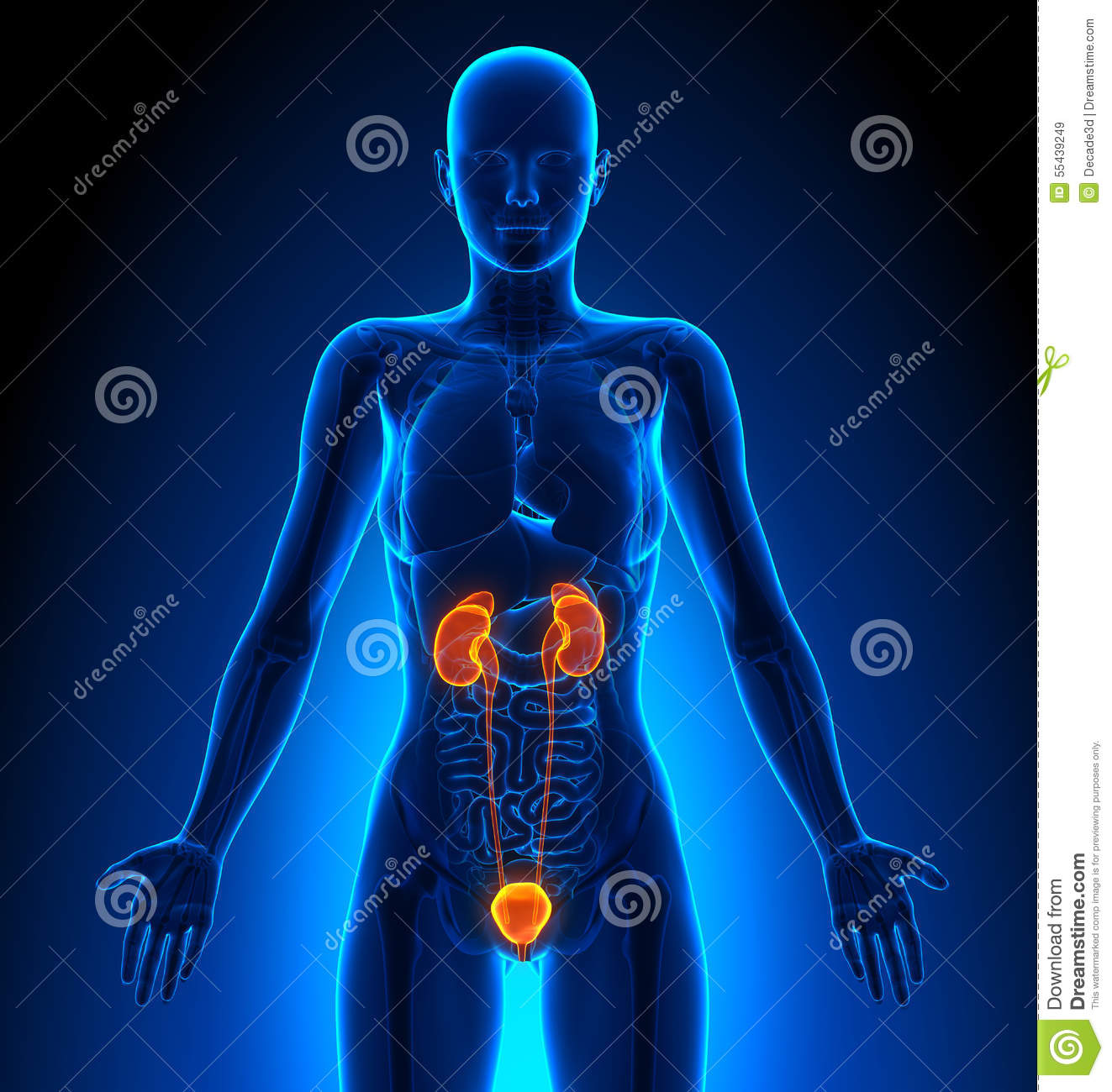 Urinary System Female Organs Human Anatomy Stock Illustration