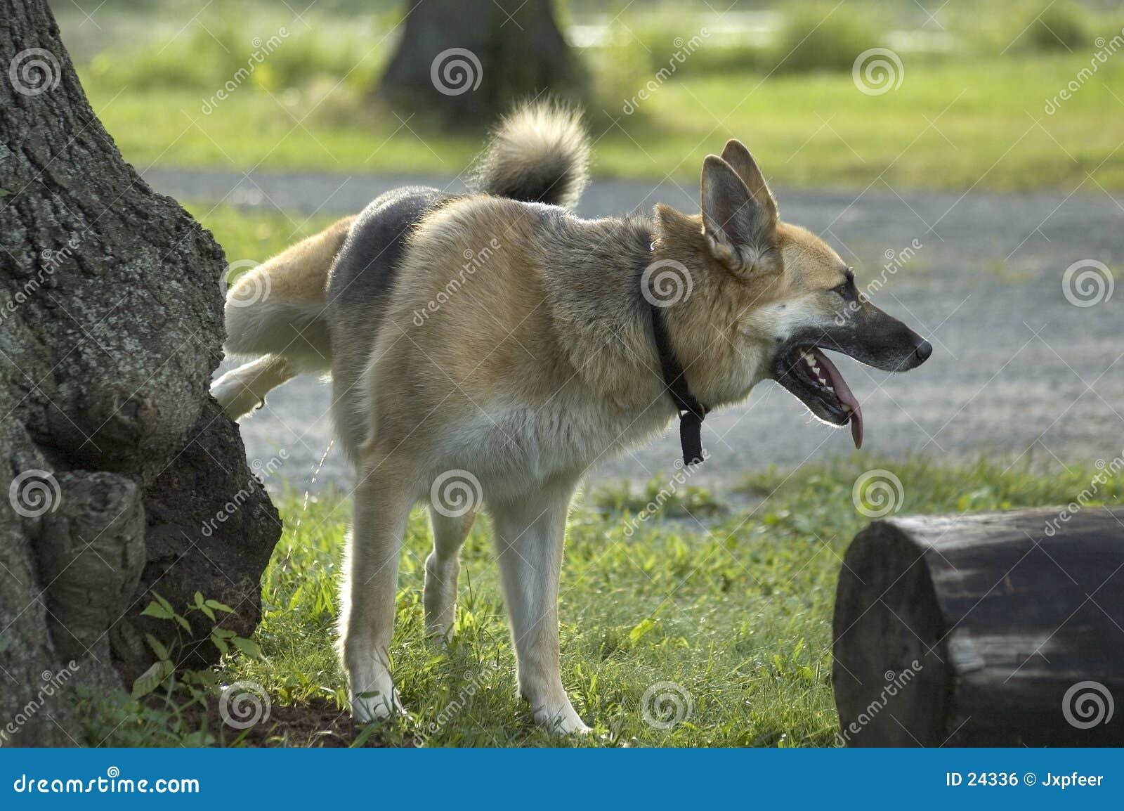 Urinierender Hund