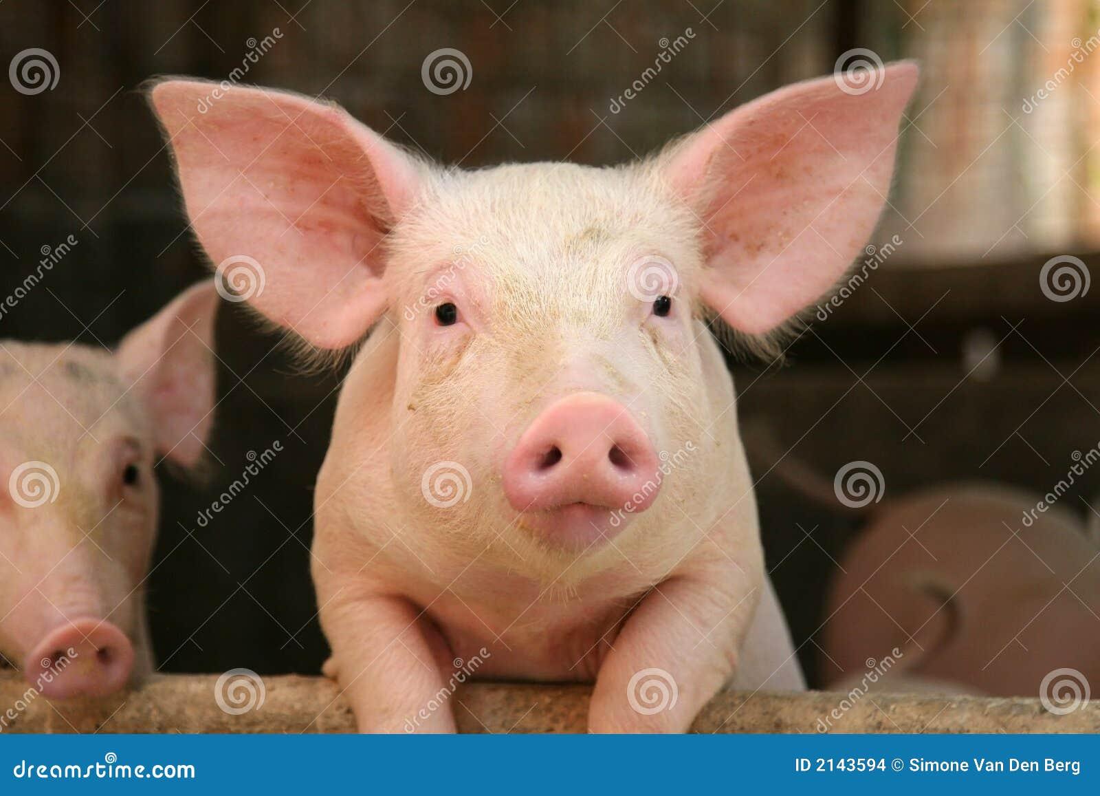 Urocza świnia