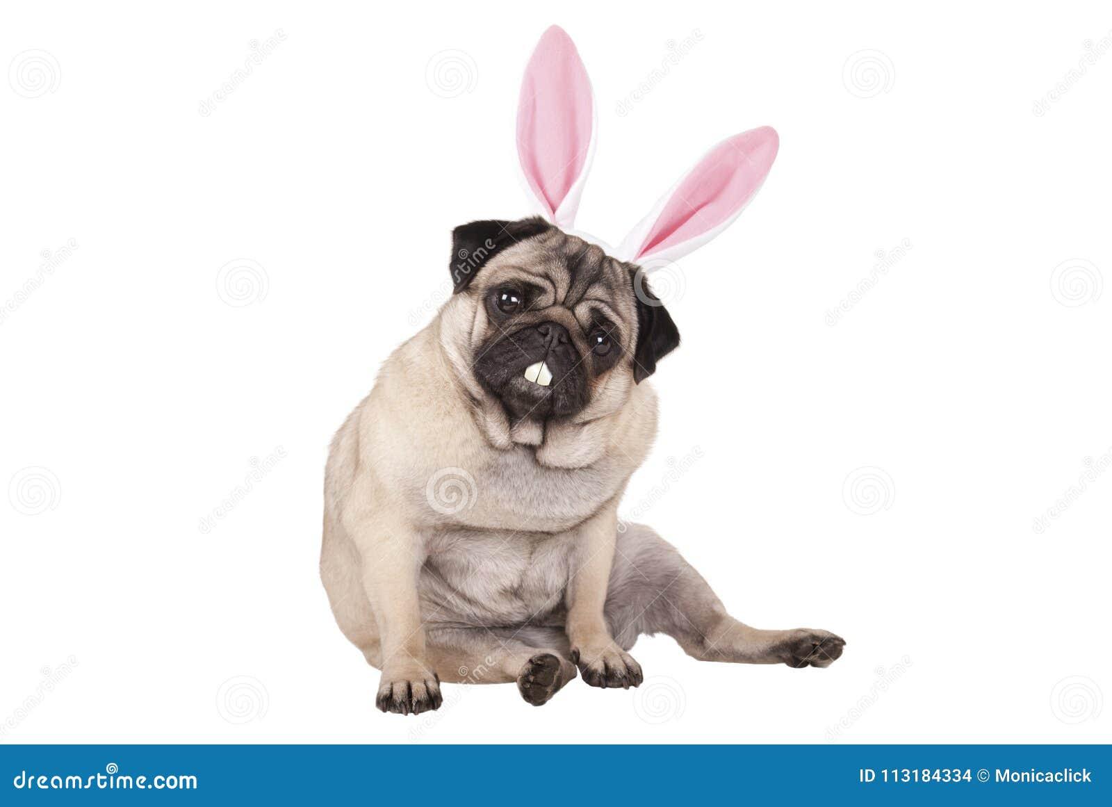 Uroczy śliczny mopsa szczeniaka psa siedzący puszek z Easter królika zębami i ucho