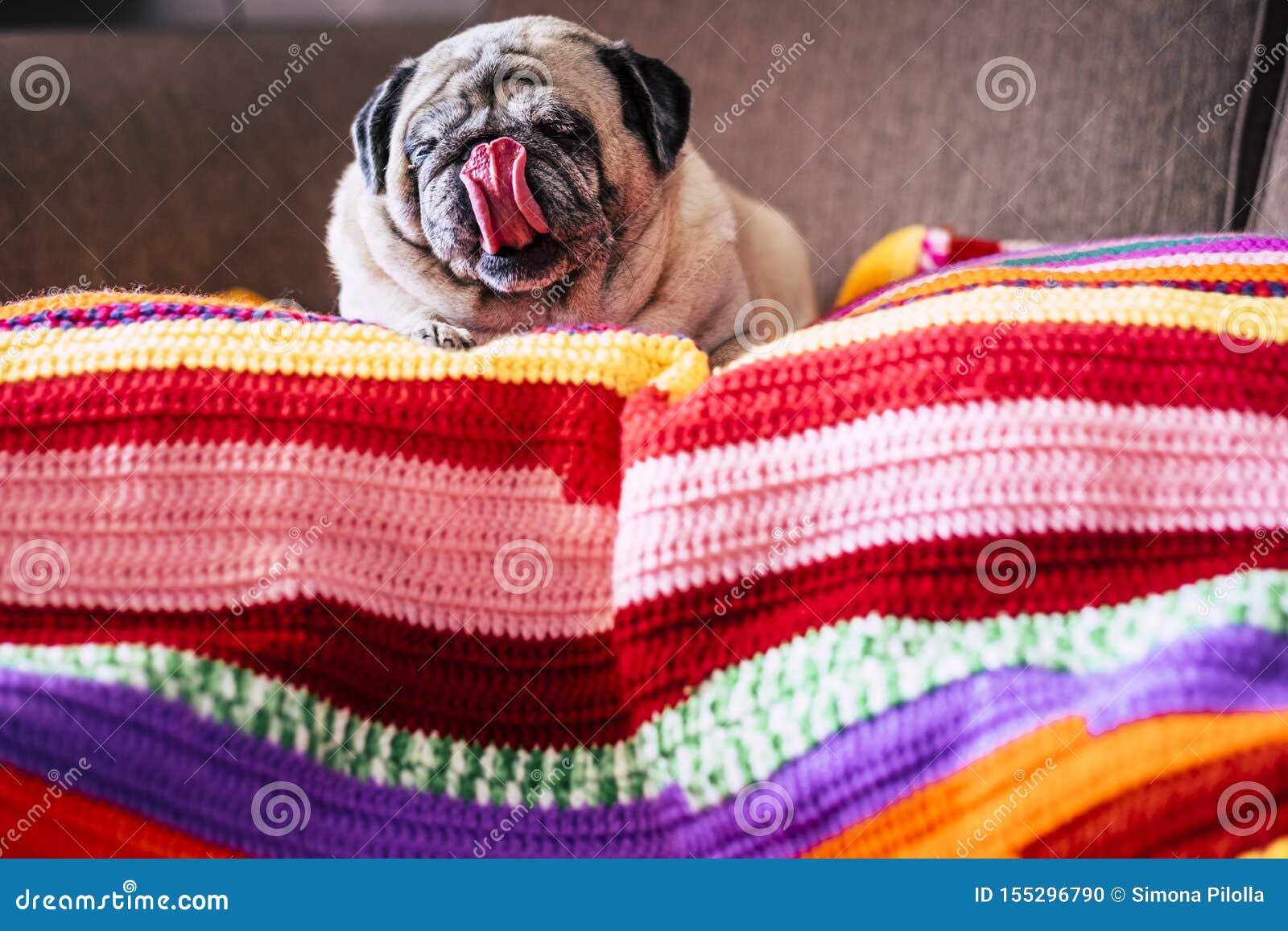 Uroczy śmieszny mopsa pies z ładnym jęzorem w domu kłaść puszek gnuśnego na coloured pokrywie na kanapie - pojęcie najlepszego pr