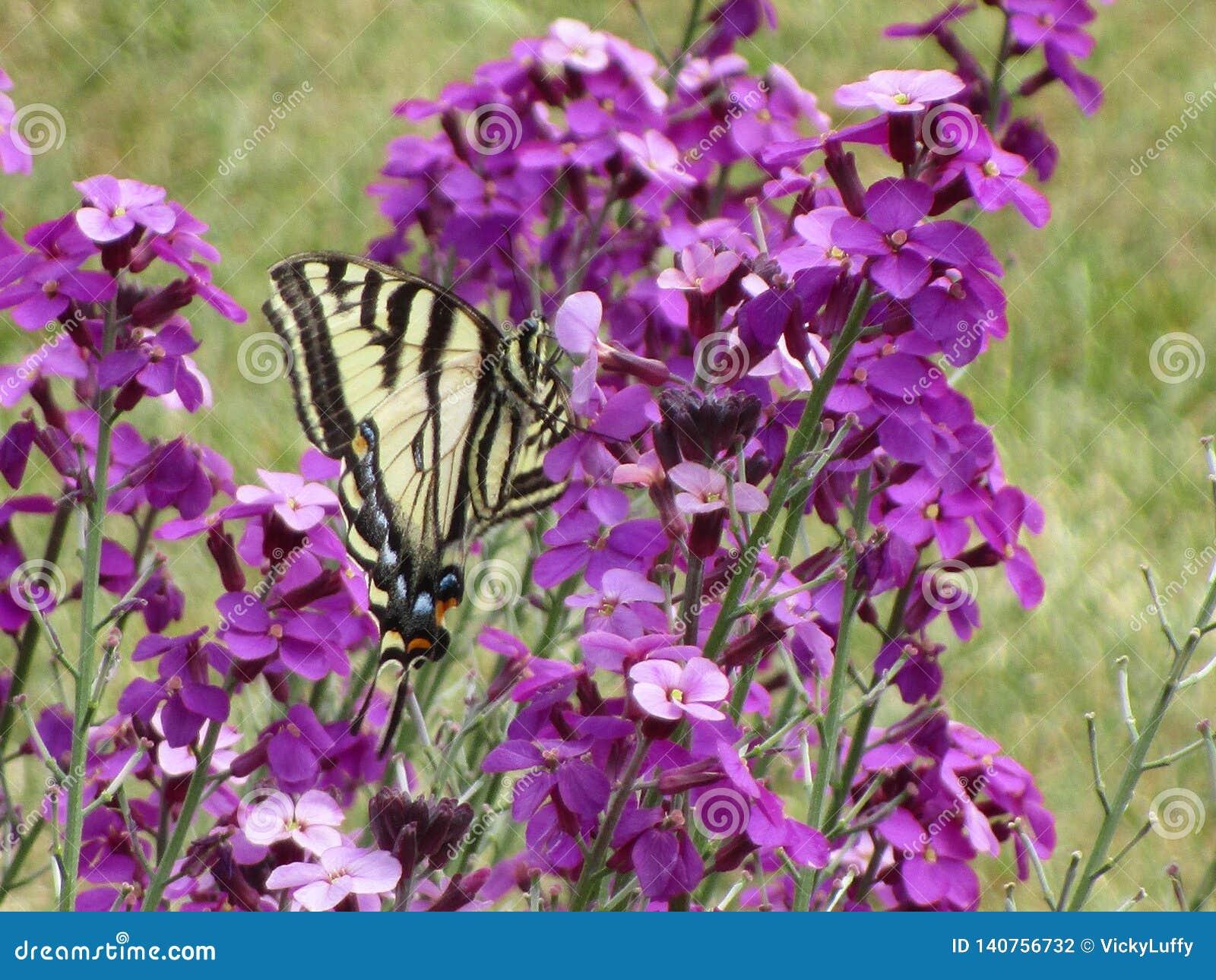 Uroczy żółty tygrysi swallowtail motyl zapyla kwiaty przy królowej Elizabeth parka ogródem