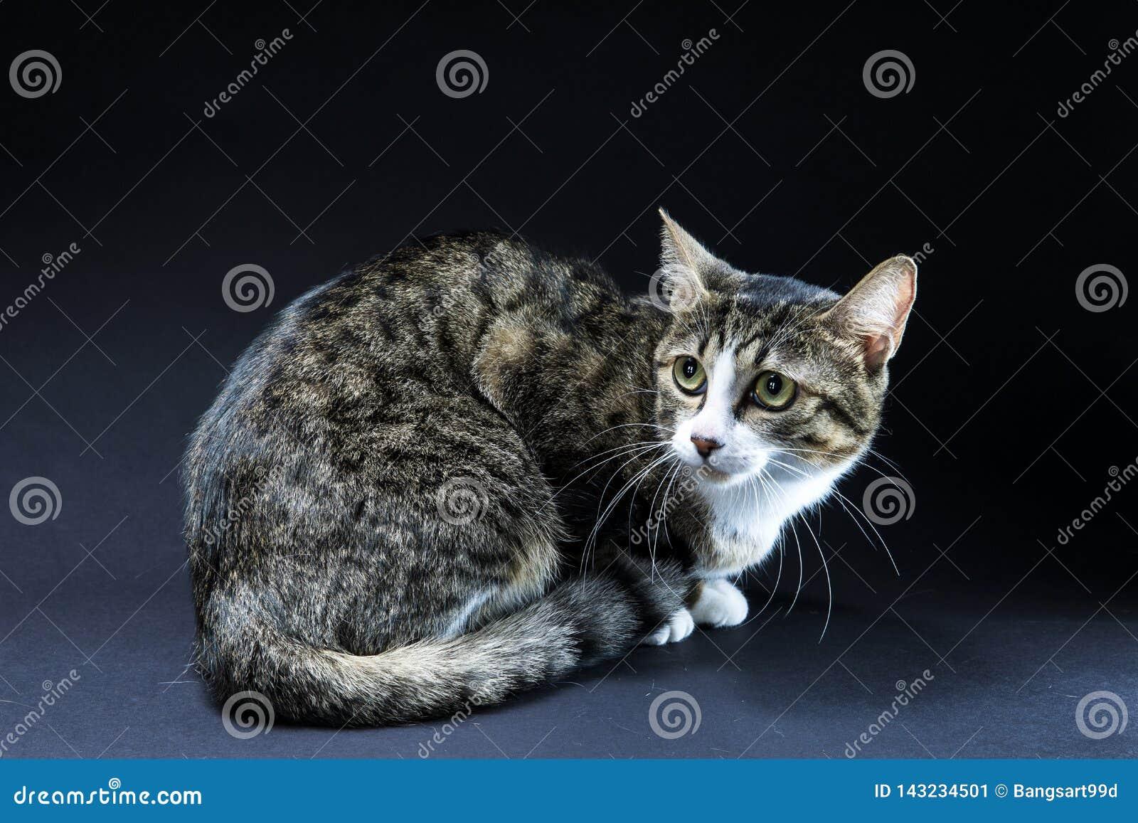 Uroczy kota czerni tło