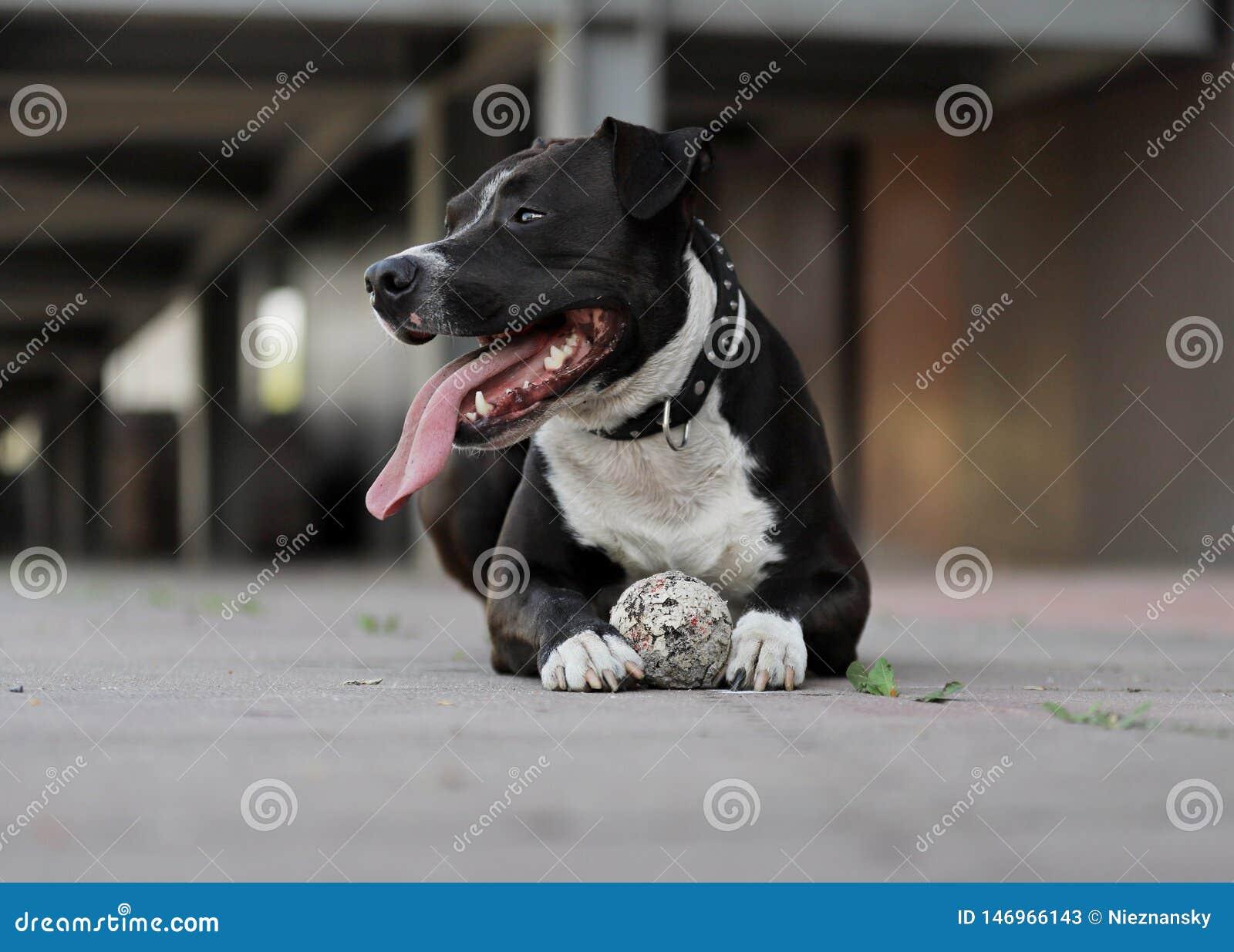Uroczy pies, Ameryka?skiego Staffordshire terier