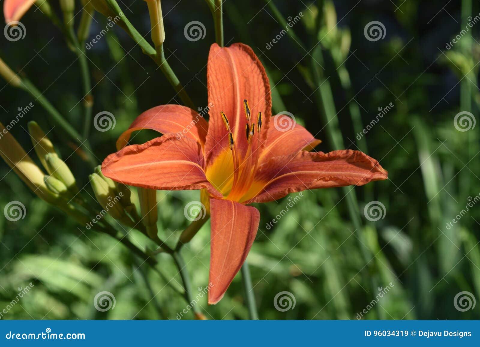 Uroczy pomarańcze i koloru żółtego Daylily W wiośnie