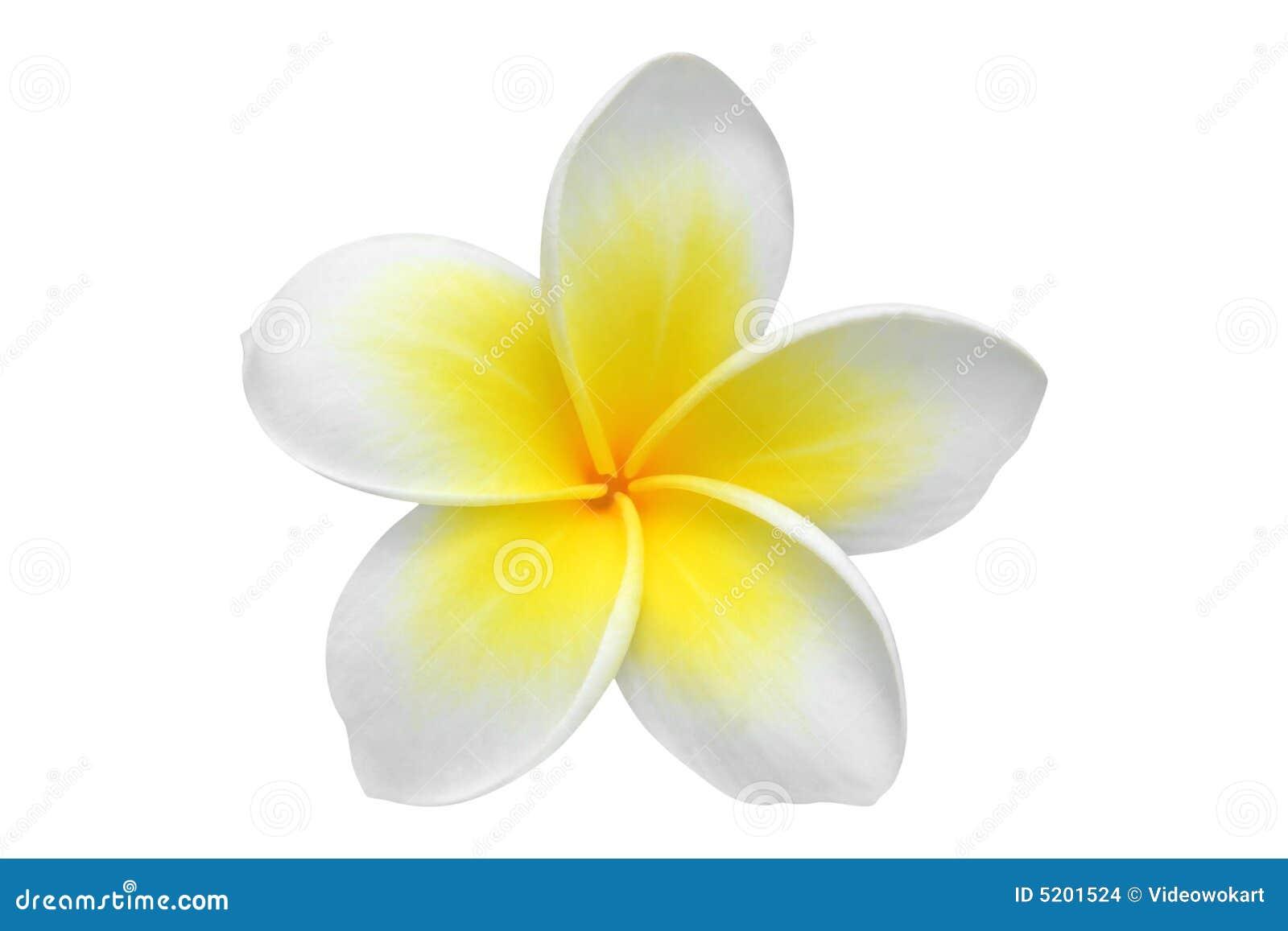 Uroczyn plumeria kwiat
