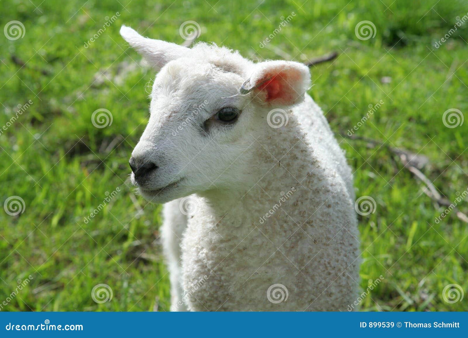 Urodzony lamb nowo
