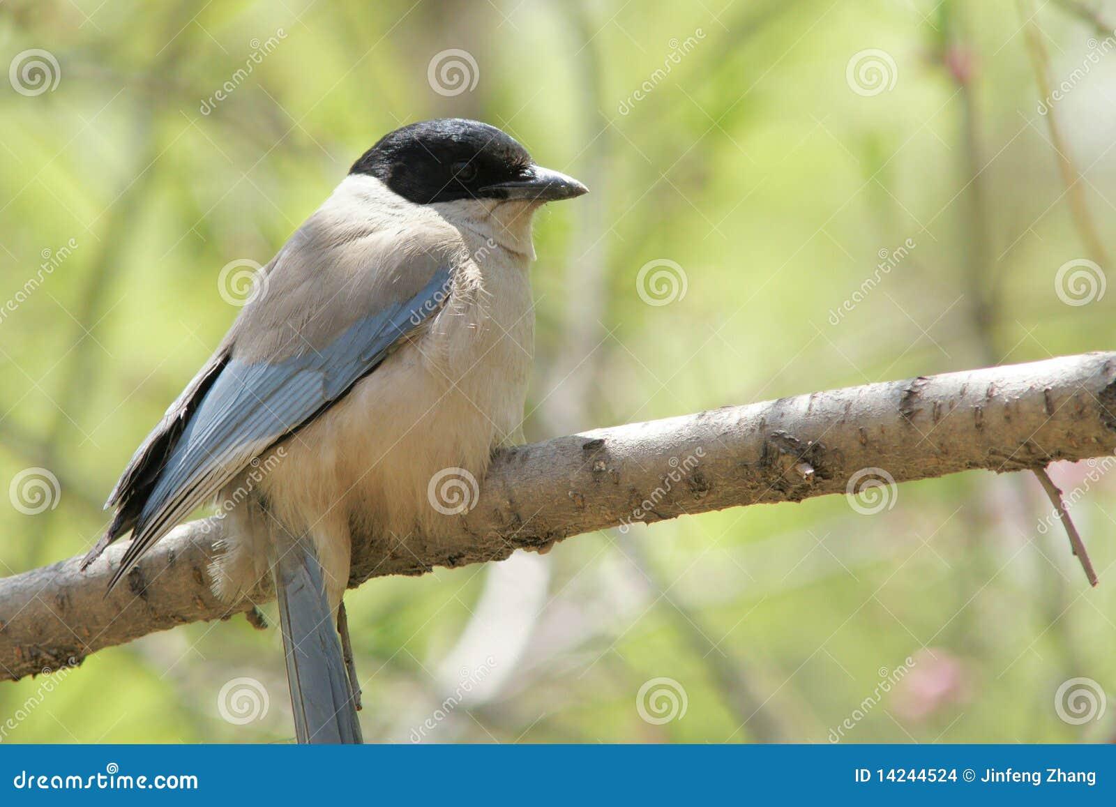 Urraca Azul-coa alas