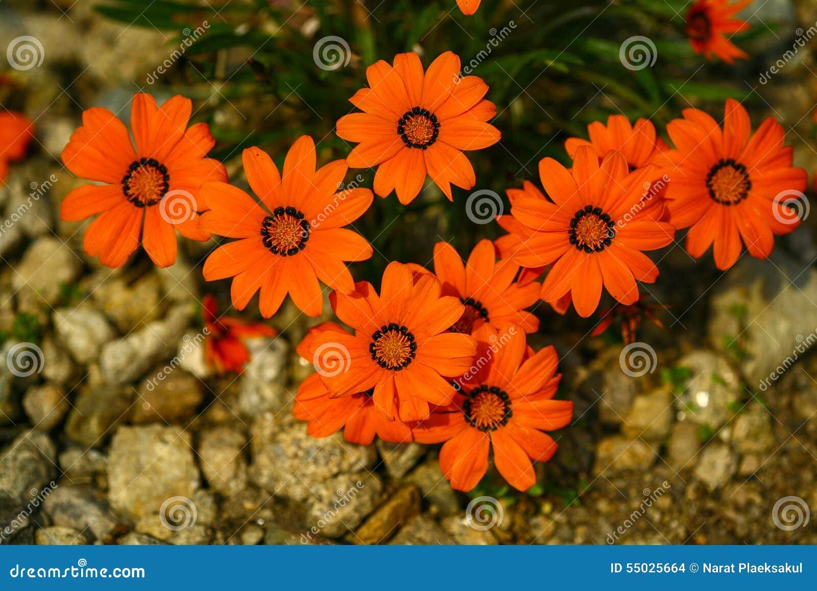 Ursinia Bright Orange Beautiful Bright Orange Daisy Like Flower