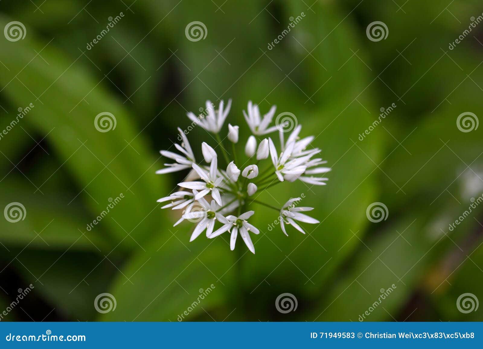 Ursinum лукабатуна одичалого чеснока или ramsons