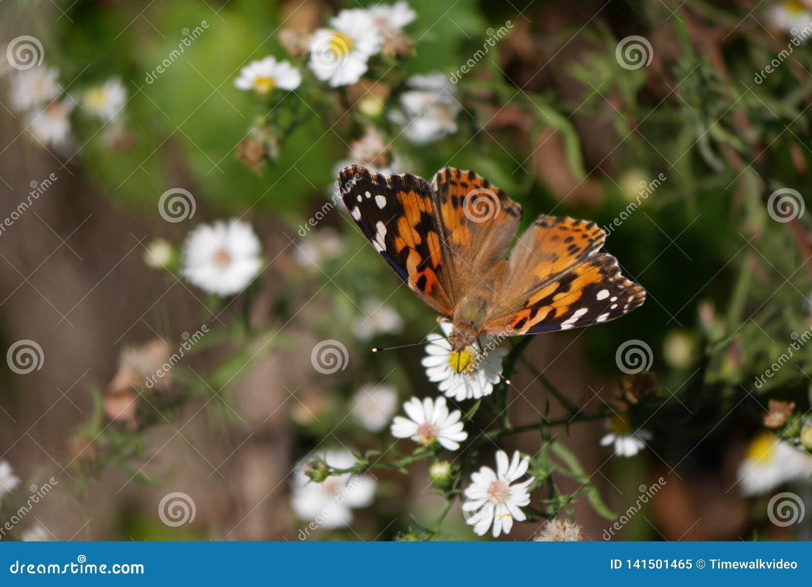Ursnygg prickig monarkfjäril på små vita blommor