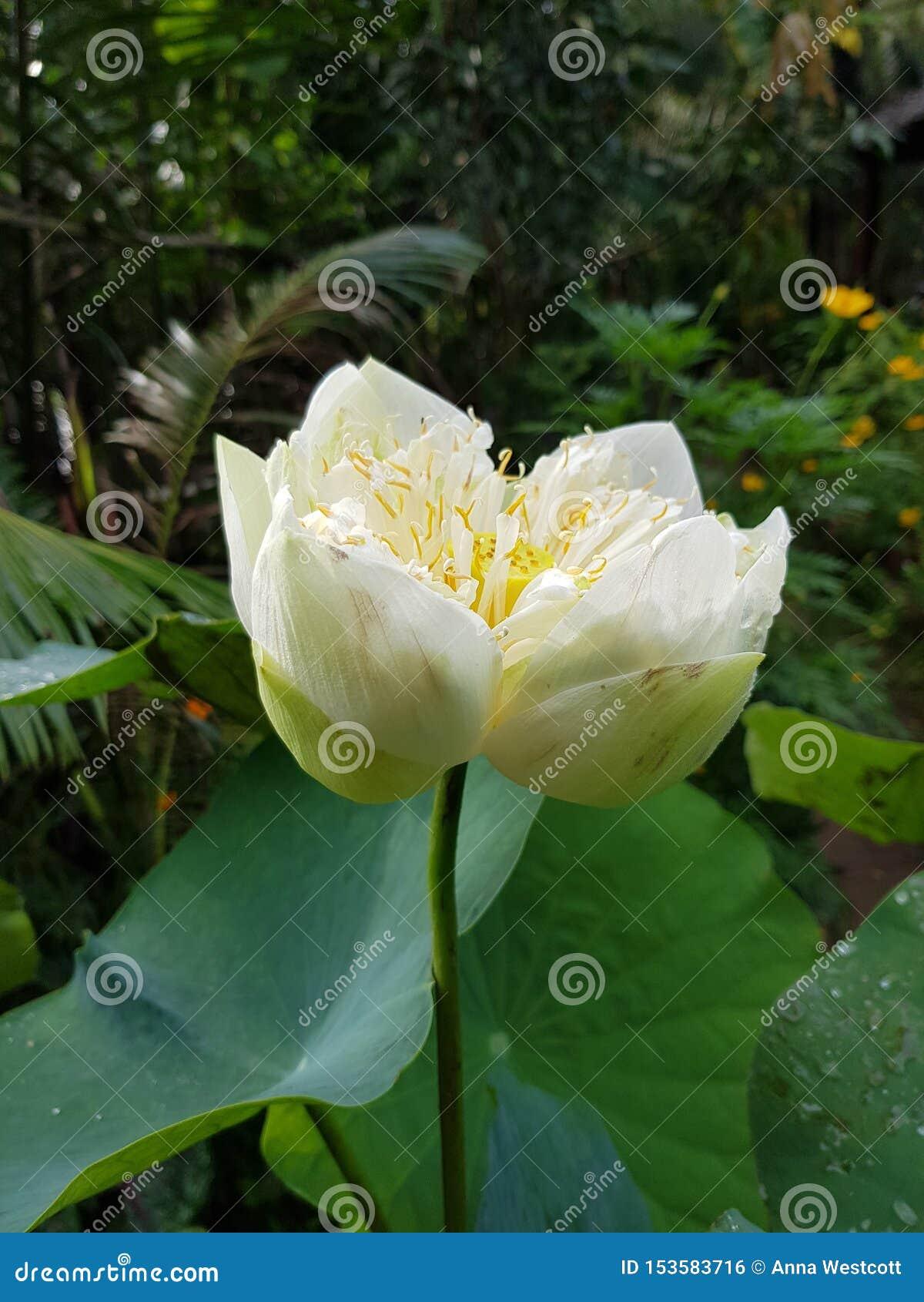 Ursnyggt huvud Vietnam för vit lilja
