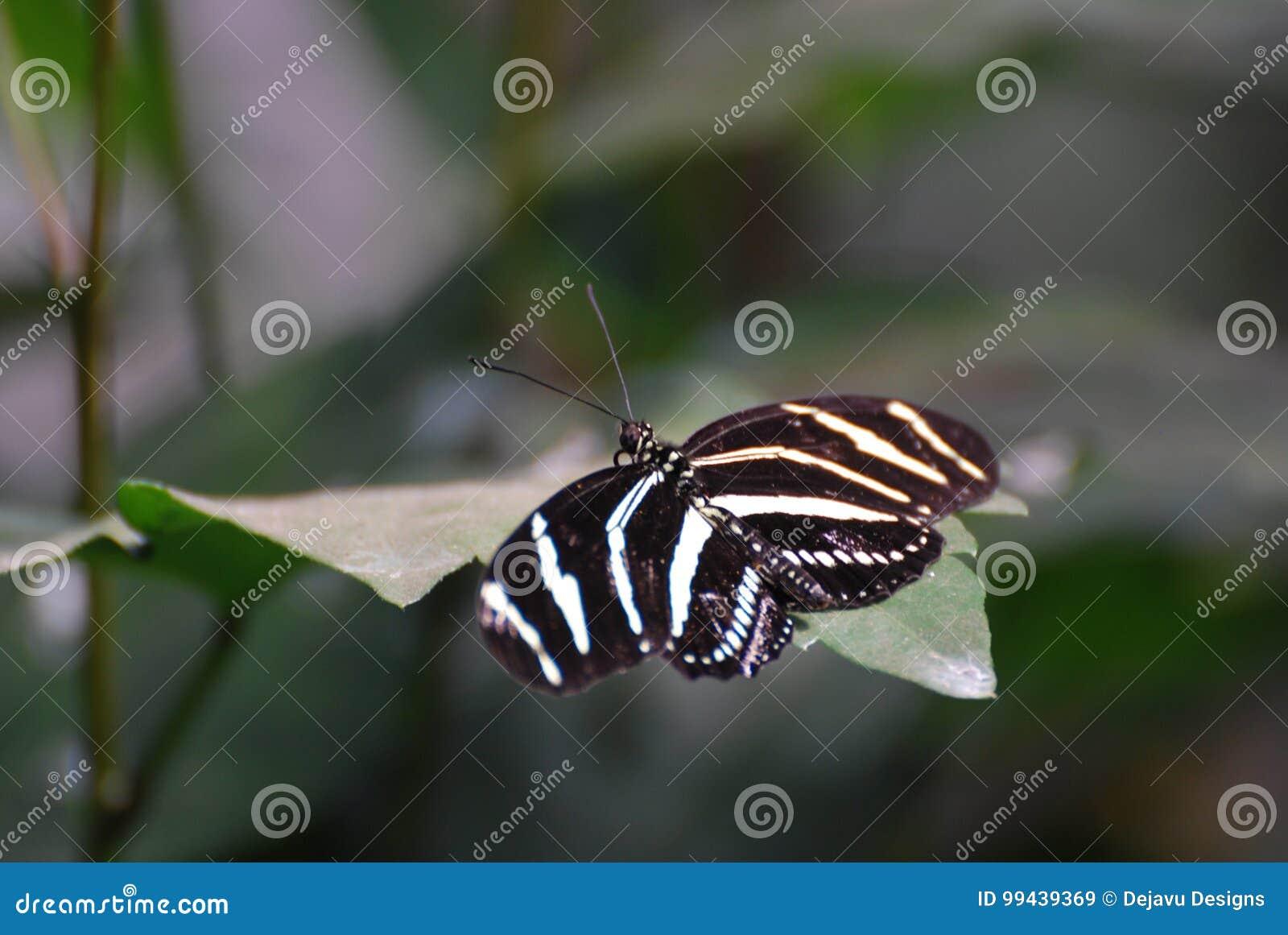 Ursnyggt skott av en sebrafjäril på ett blad