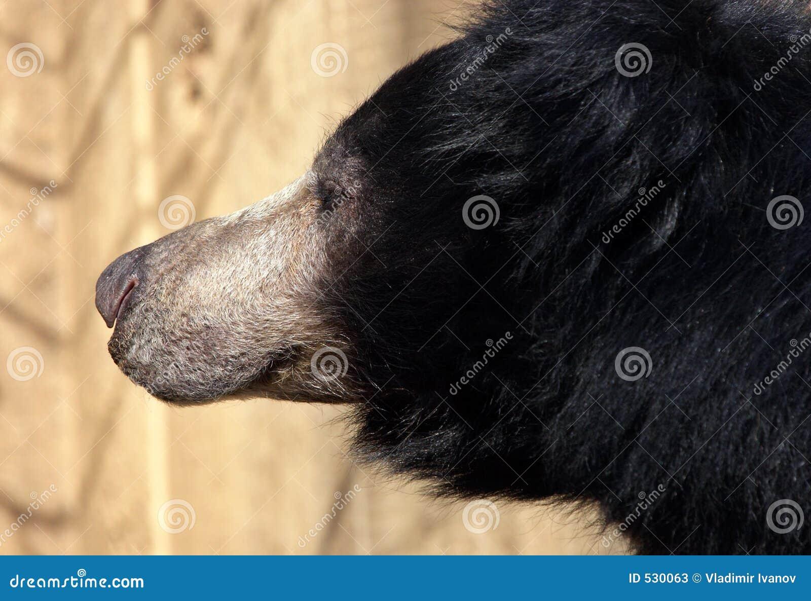 Urso da preguiça
