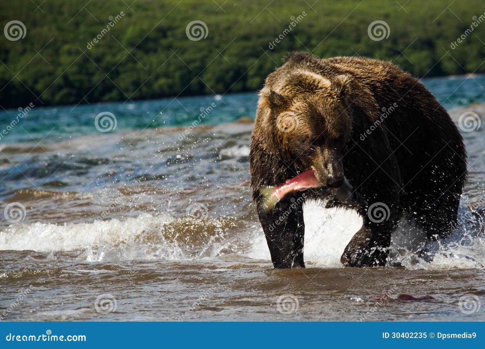 Urso de Brown com uma captura fresca dos salmões