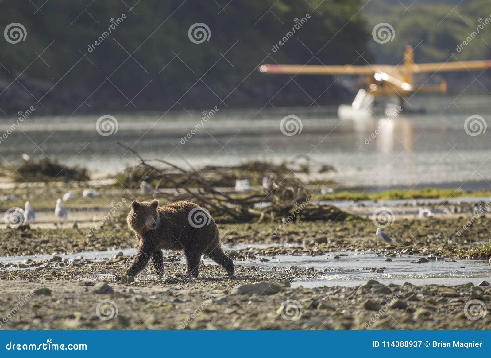 Urso de Brown litoral na frente do avião