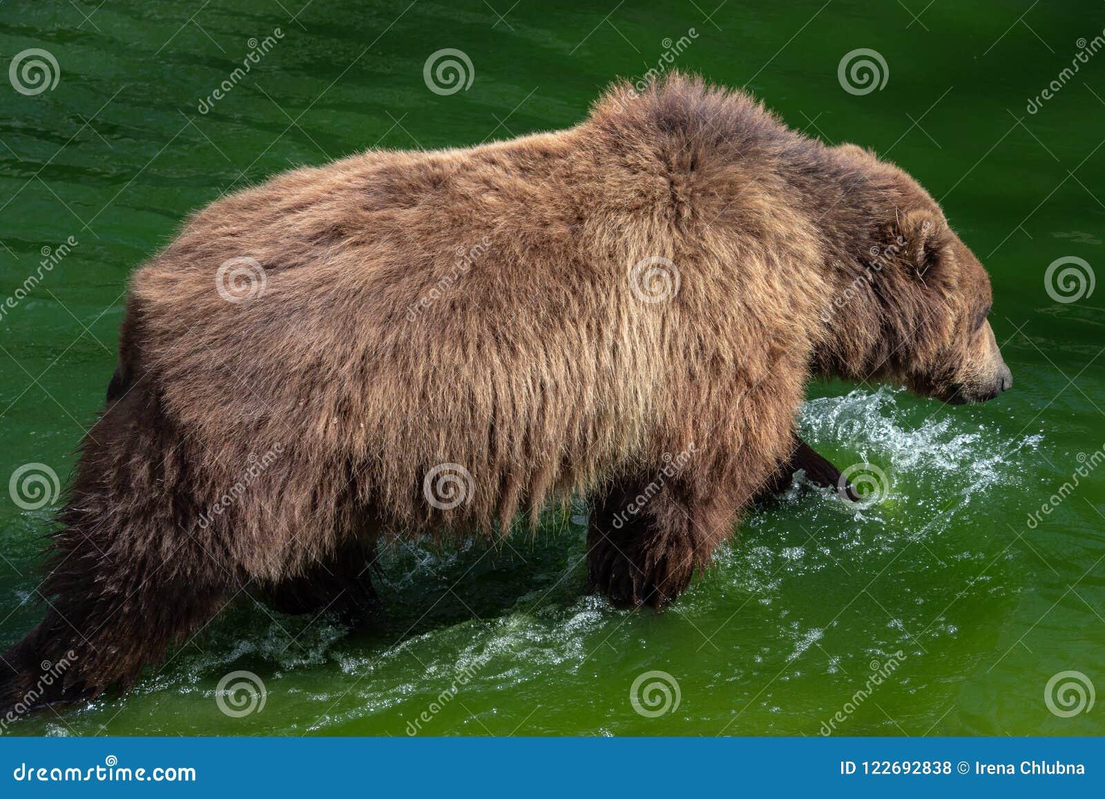 Urso de Brown na água Retrato do beringianus dos arctos do Ursus do urso marrom
