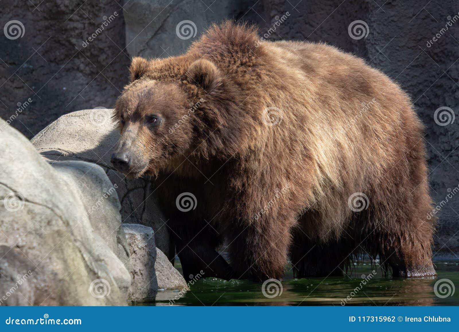 Urso de Brown na água Retrato do urso marrom