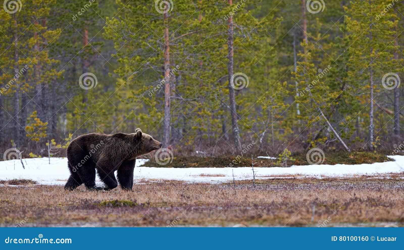 Urso de Brown no taiga