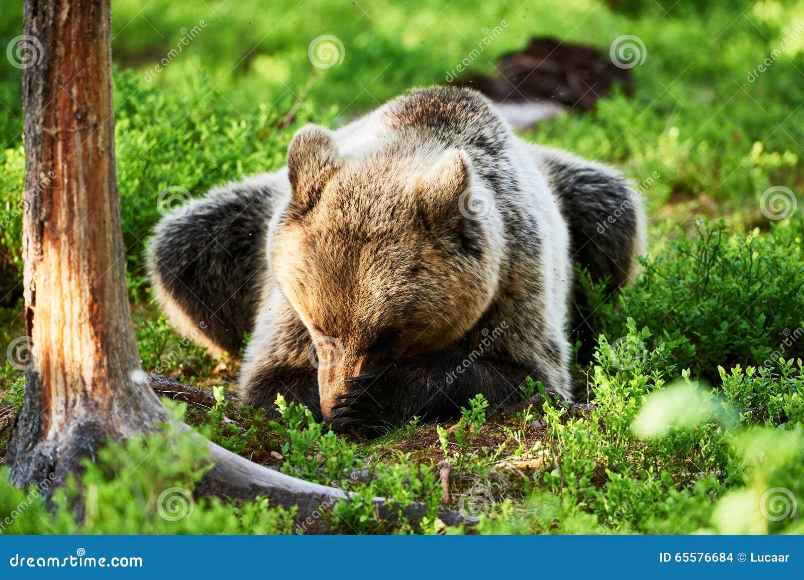 Urso de Brown que encontra-se na floresta
