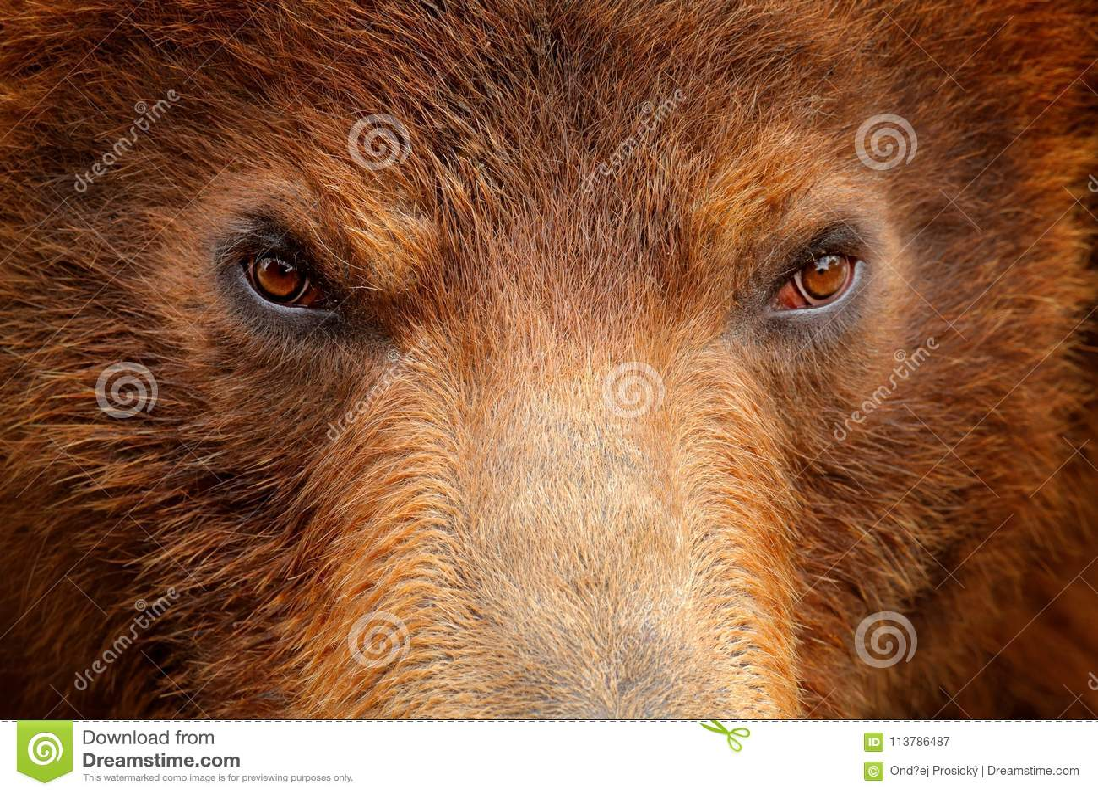 Urso de Brown, retrato do olho do detalhe do close-up Casaco de pele de Brown, animal do perigo Natureza dos animais selvagens Ol