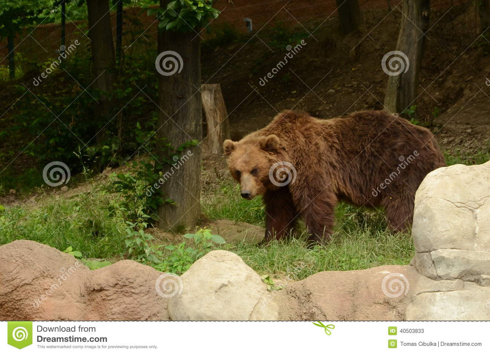 Urso de Kamchatka Brown
