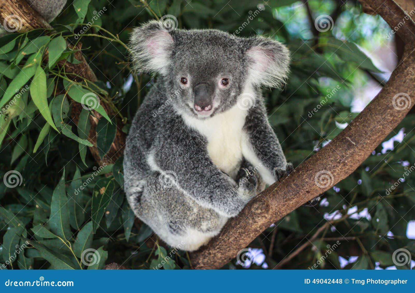 Urso de koala australiano