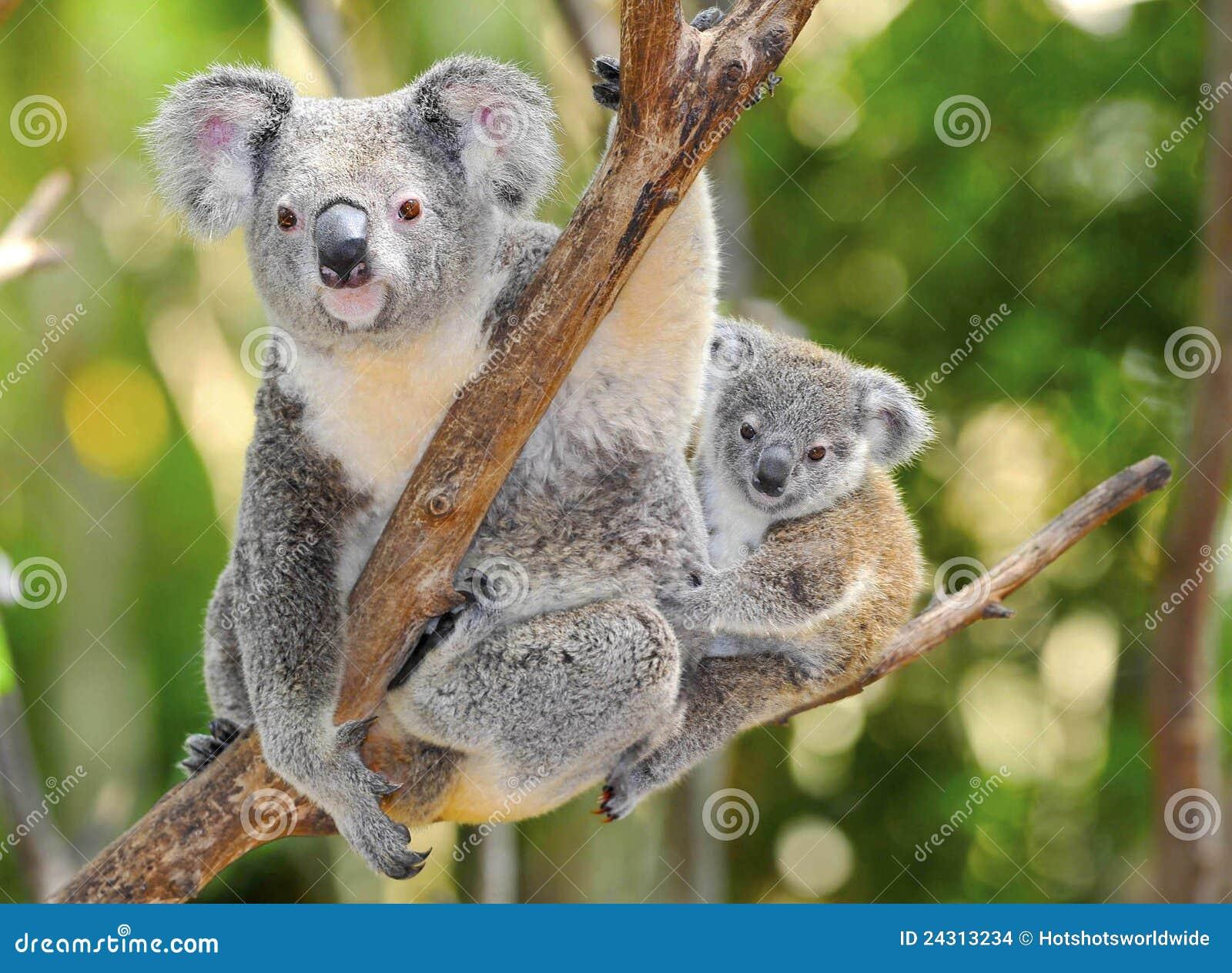 Urso de koala australiano com bebê bonito Austrália