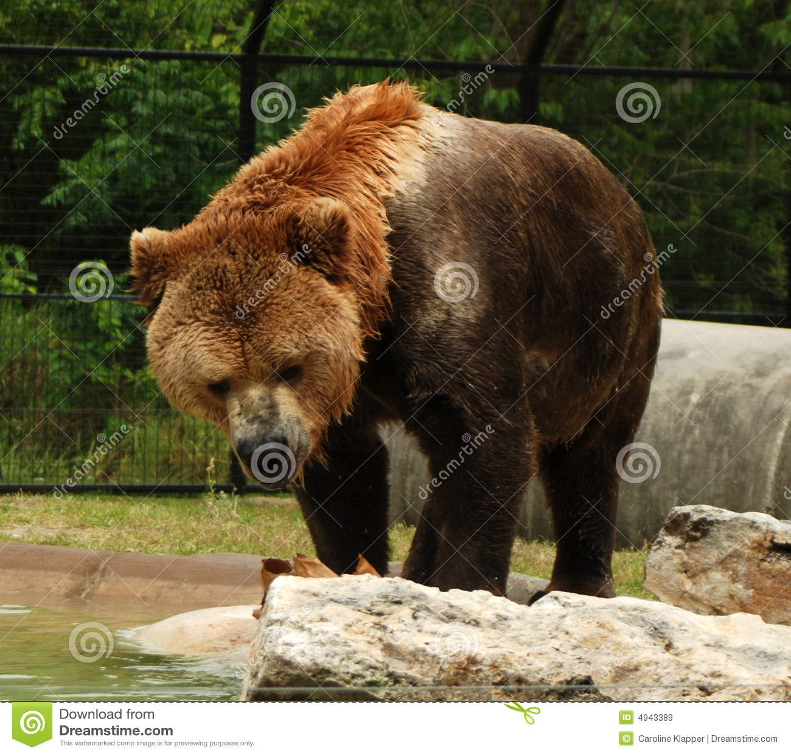 Urso de Kodiak