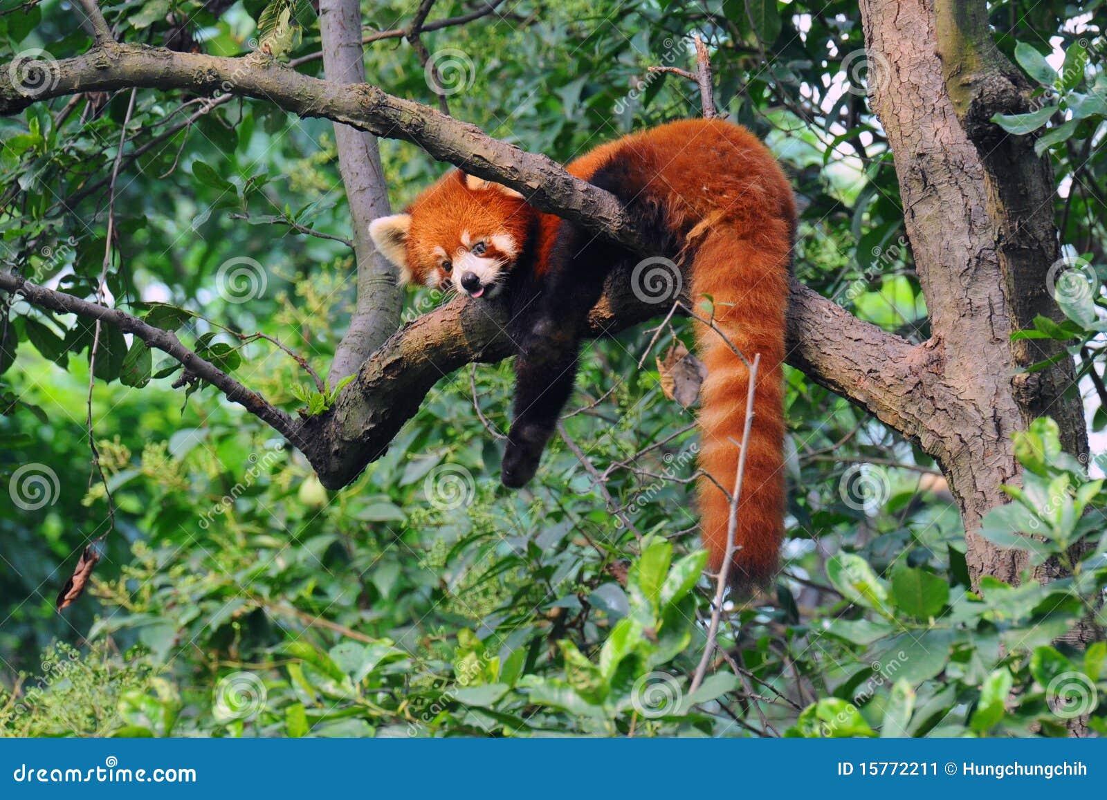 Urso de panda vermelha na árvore