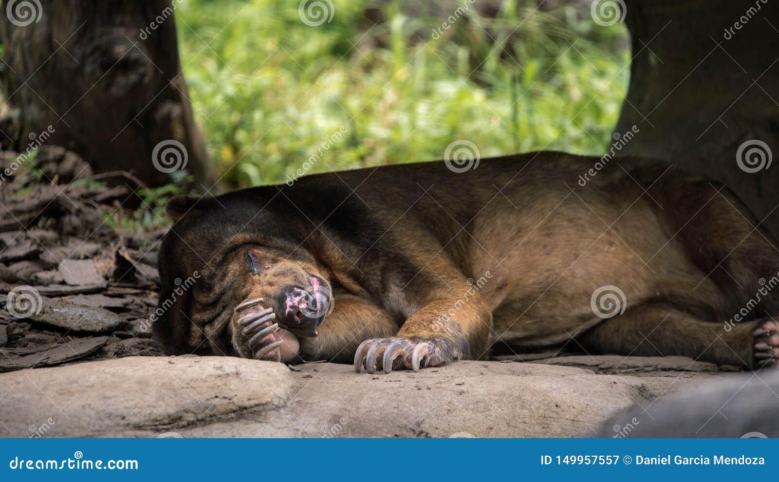 Urso de Sun que dorme na floresta entre rochas e árvores