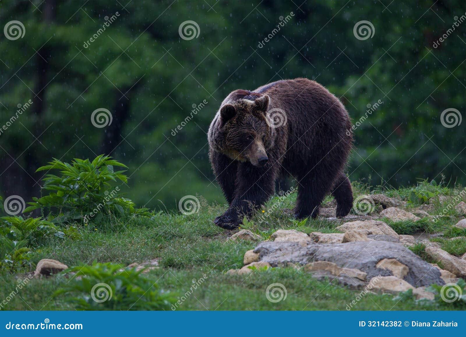Urso marrom Carpathian que anda à floresta