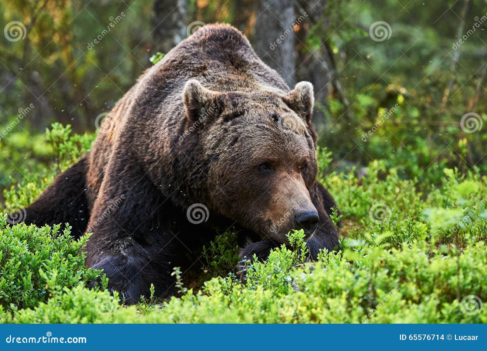 Urso marrom de Houghtful