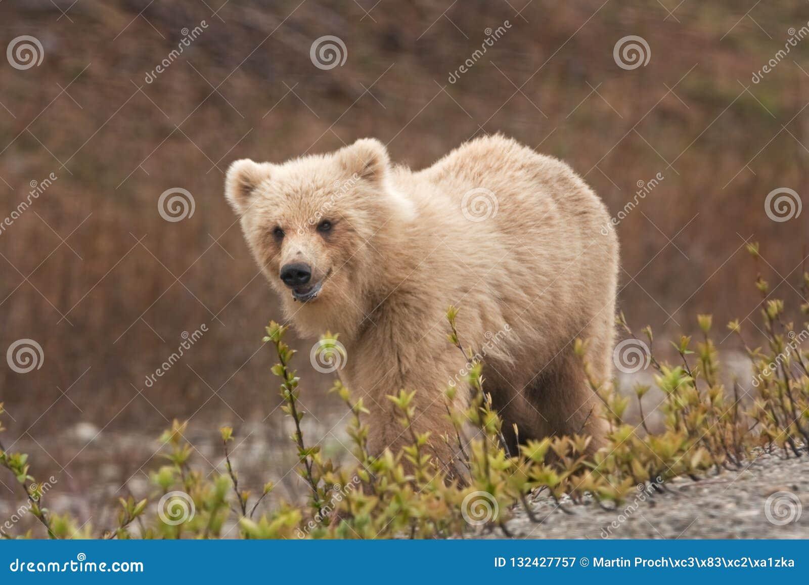 Urso marrom de Kamchatka, beringianus dos arctos do ursus