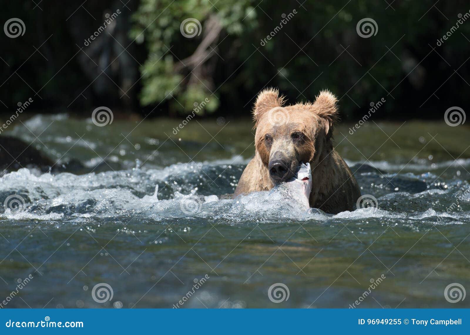 Urso marrom do Alasca com salmões