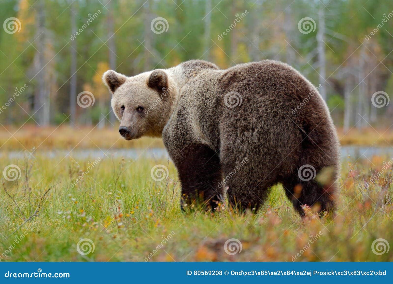 Urso marrom grande bonito que anda em torno do lago com for Affitti cabina grande lago orso