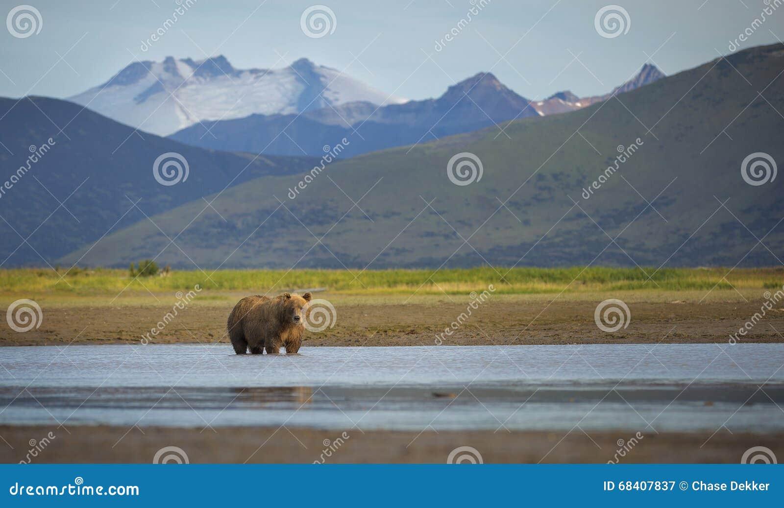 Urso marrom litoral