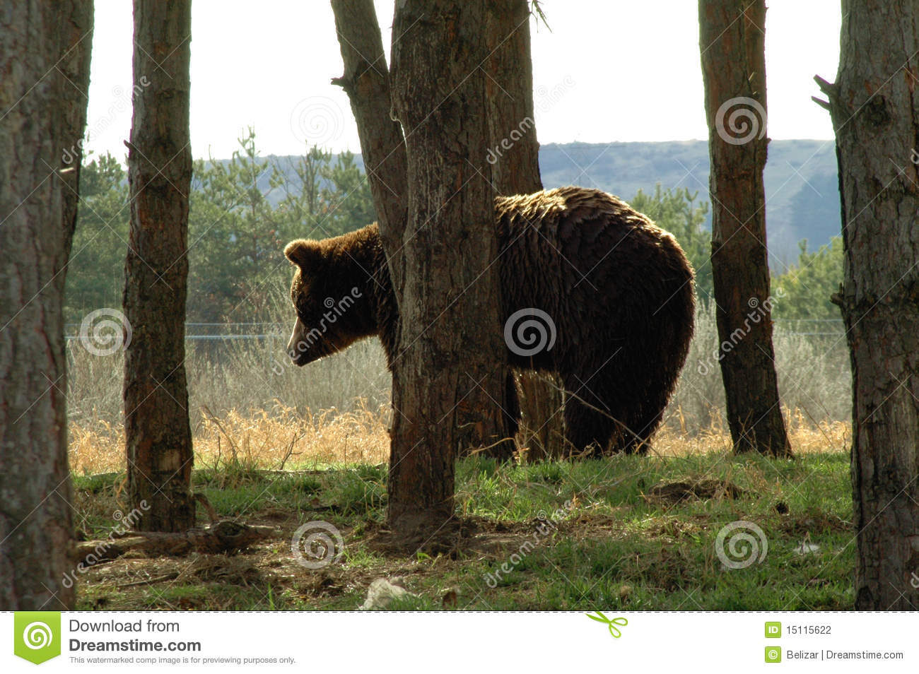 Urso na borda da floresta