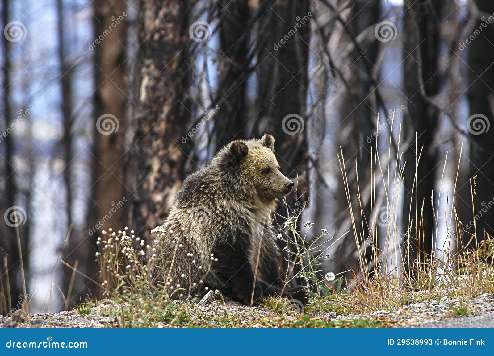 Urso novo Cub do urso