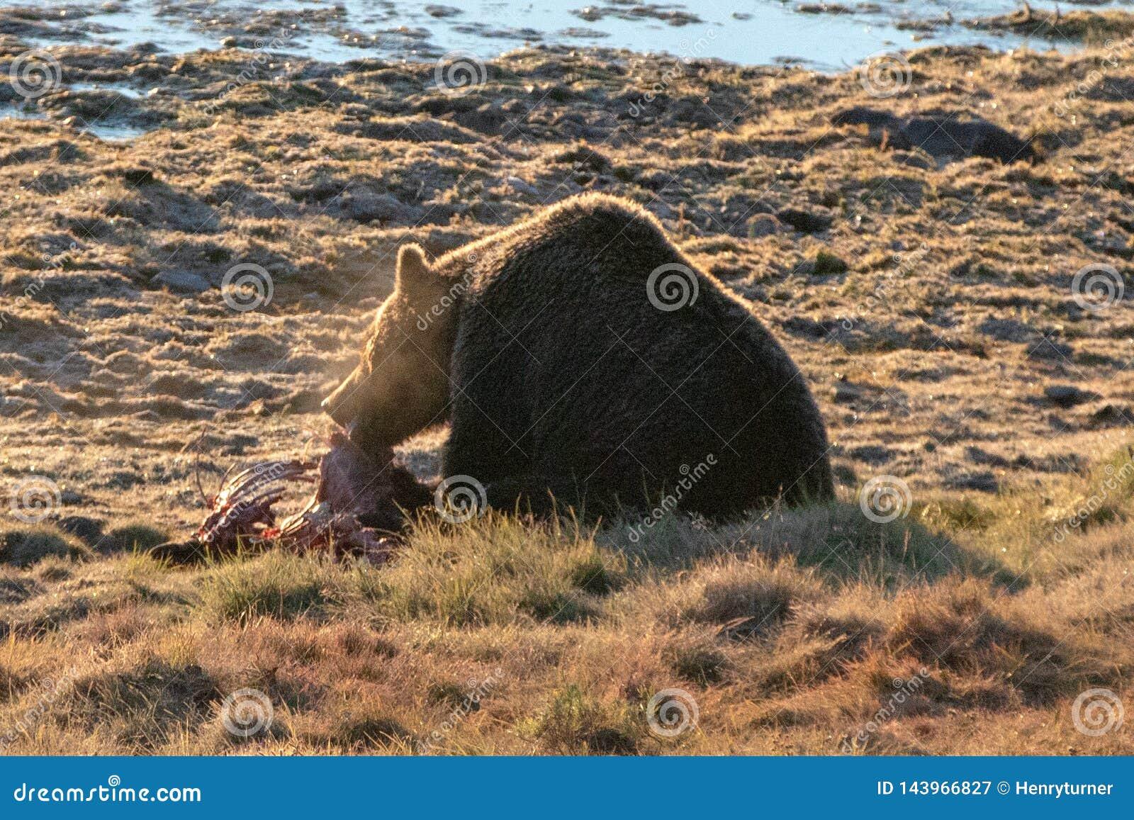 Urso pardo iluminado traseiro com a respiração enevoada que alimenta na carcaça da vitela dos alces por Yellowstone River em Hayd