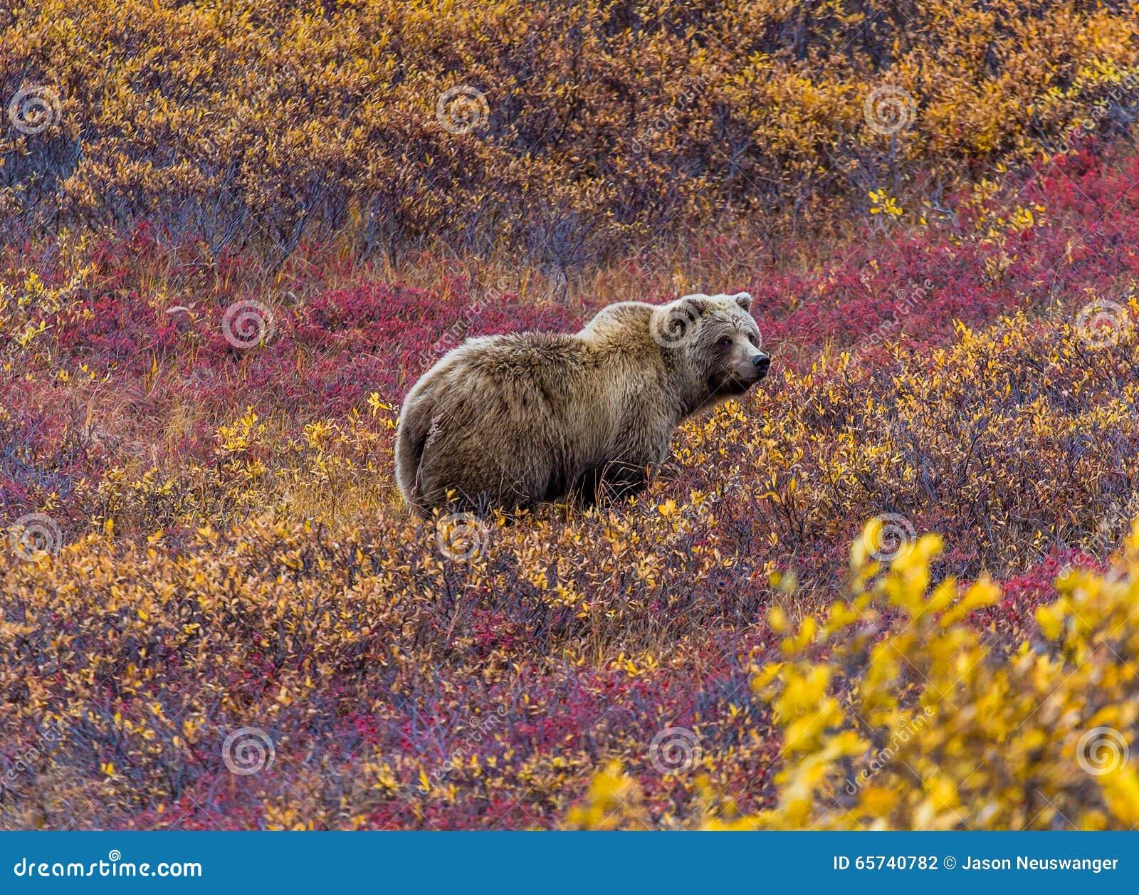 Urso pardo no parque nacional de Denali