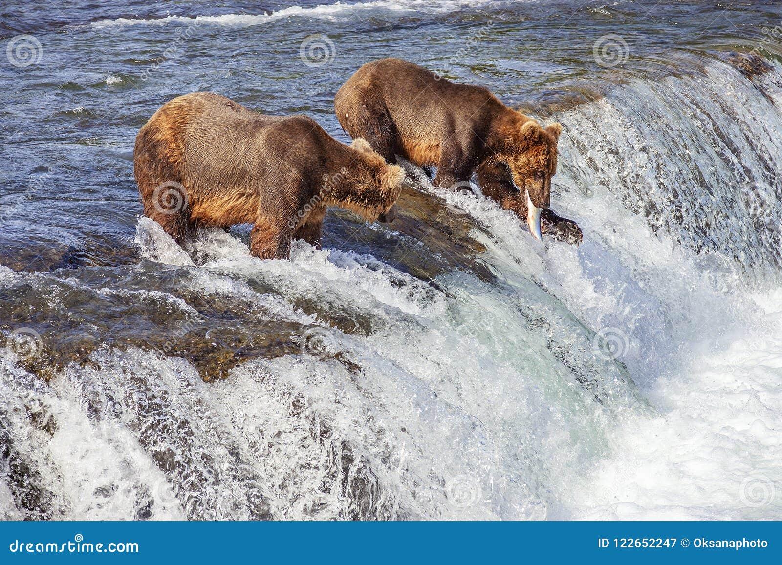 Urso pardos de Katmai NP
