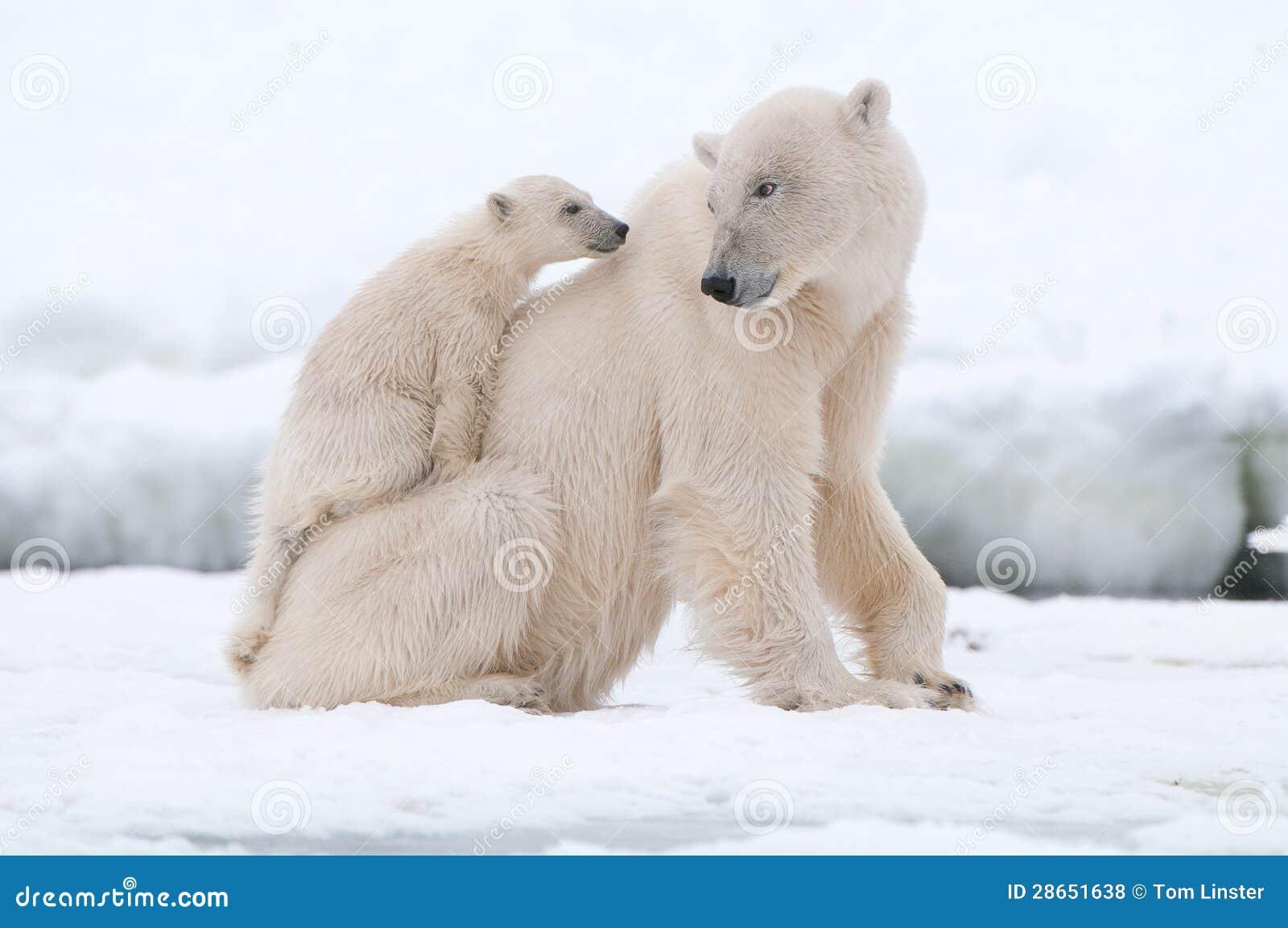 Urso polar com filhote