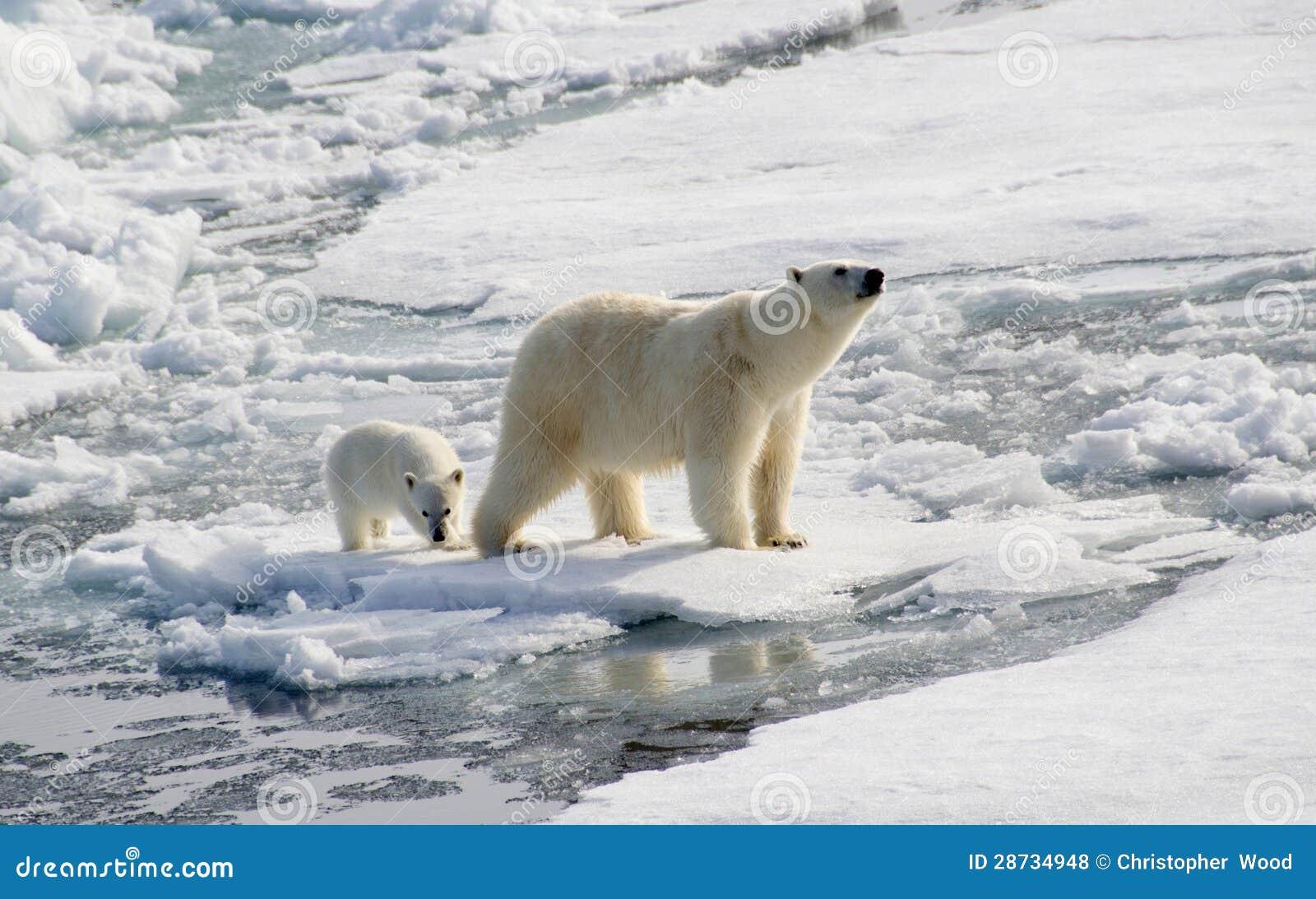 Urso polar e filhote
