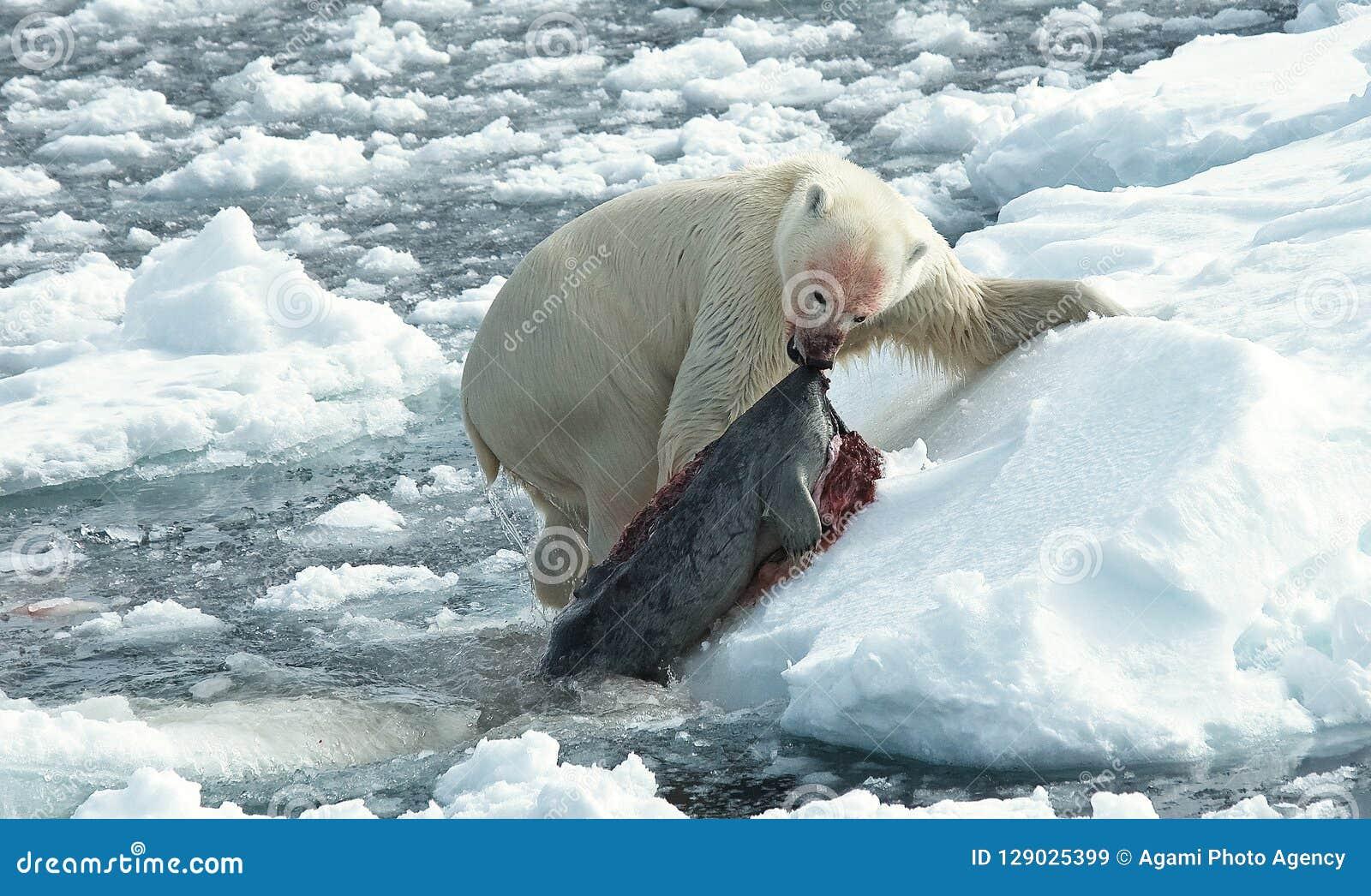 Urso polar, IJsbeer, maritimus do Ursus